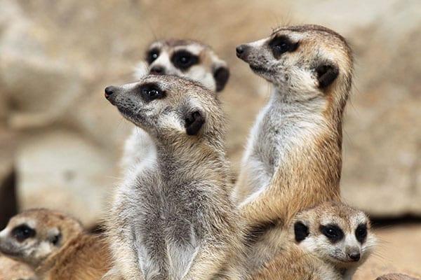 meerkats-600