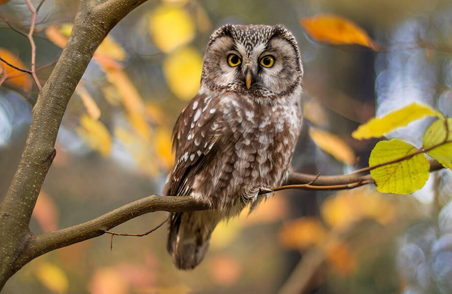 Owl in autumnal background