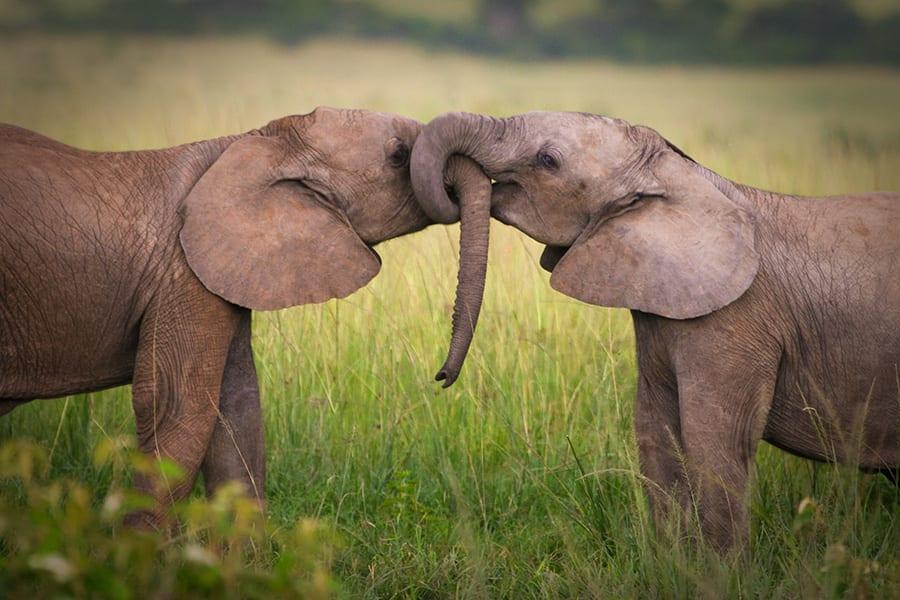 elephants-900